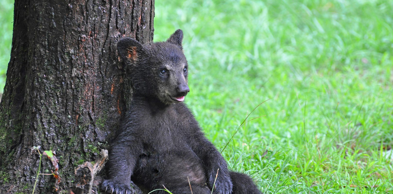 Baby bear resting against a tree in the Great Smoky Mountains